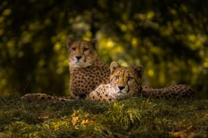 Dieren - Cheetah Couple